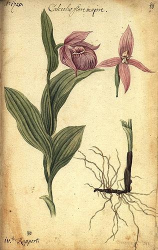 Цветок на латыни