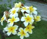 Комнатный цветок красивоцветущий