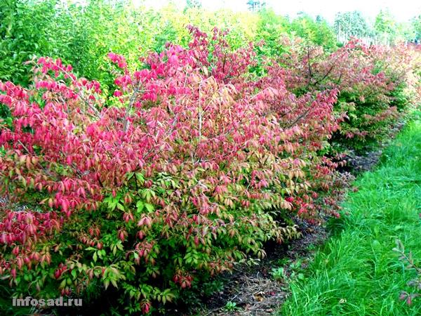 фото садовые декоративные деревья и кустарники Бересклет красные, Бересклет крылатый - Euonymus alata.